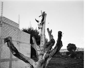 Skull tree, Oaxaca