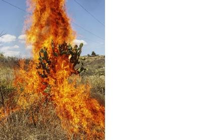 Burning bush. Oaxaca de Juárez, 2018