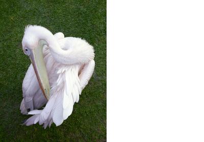 Pelican Vulno